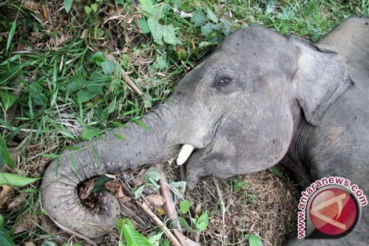 Perburuan liar kematian gajah Sumatera