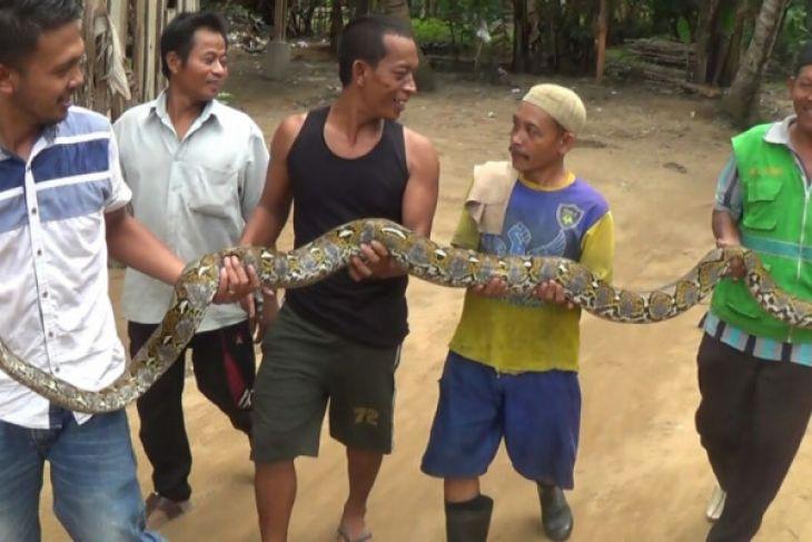 Warga Muarojambi tangkap ular piton pemangsa unggas