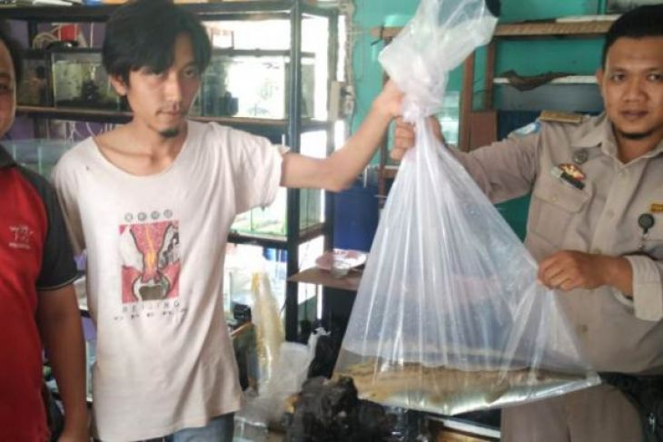 BKIPM Jambi terus sosialisasikan penyerahan ikan invasif