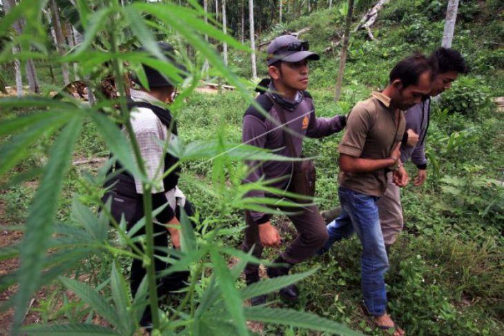 Penggerebegan ladang ganja di Lhokseumawe