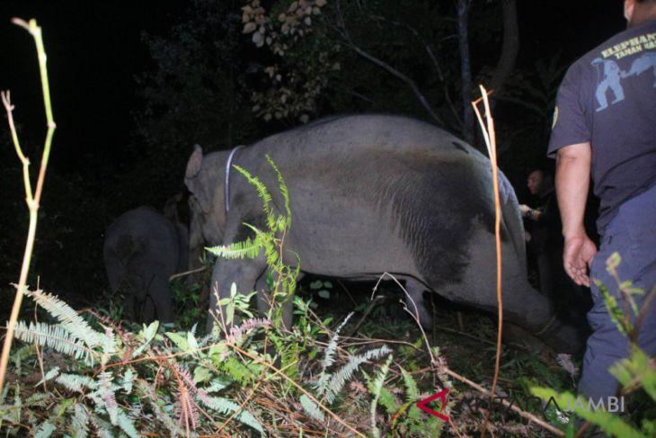 Hutan Harapan dapat tambahan tiga gajah Sumatera