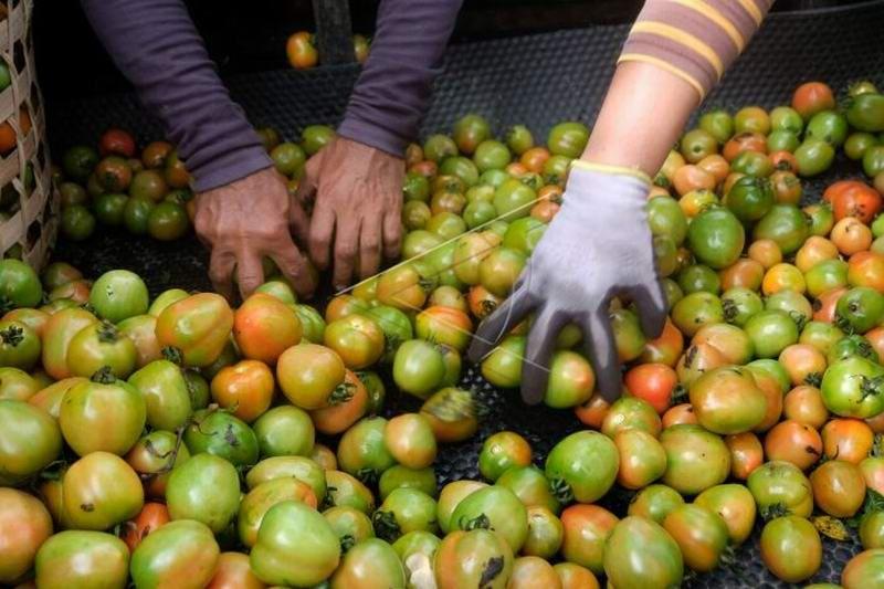 Harga tomat anjlok pnu1tu prv