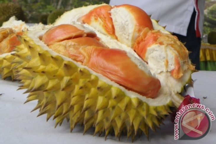 Banyuwangi Perbanyak Benih Durian Merah dari Induk