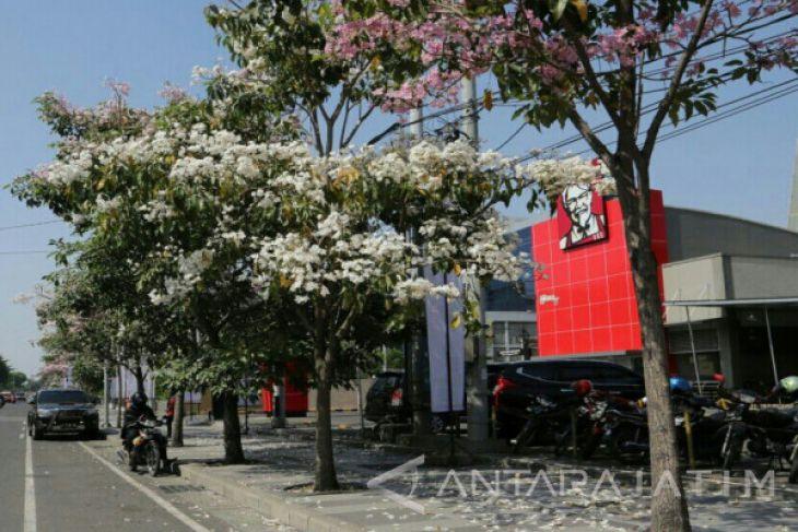 Bunga Tebebuia-Sakura Mekar di Surabaya