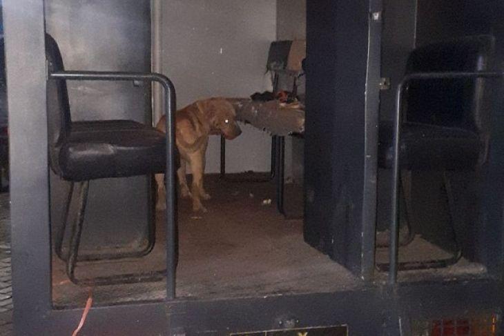 Pemilik Anjing Pitbull Ditahan