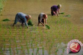Karawang selalu surplus 500.000 ton beras