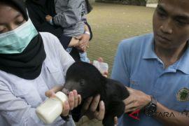 Beruang madu lahir di Kebun Binatang Bandung