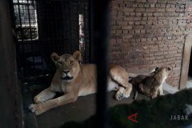 Tiga anak singa afrika lahir di Garut
