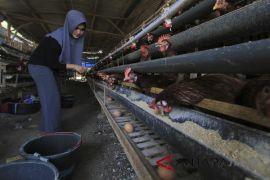 Produksi telur ayam menurun