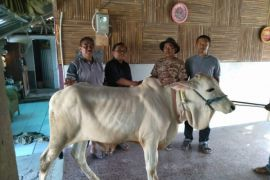 PT BIJB salurkan belasan hewan kurban ke sejumlah desa