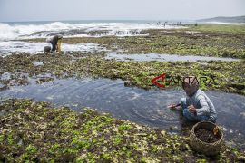 Ekspor rumput laut Indonesia
