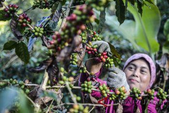 Pemprov Jabar gagas kebun inti kopi 200 hektare