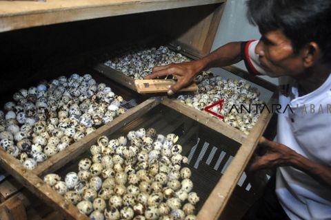 Produksi telur burung puyuh