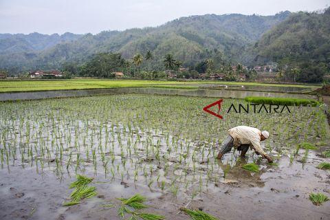 Surplus beras Sukabumi