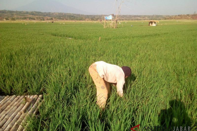 Warga manfaatkan lahan kering Setu Patok Cirebon