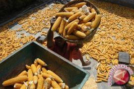 Petani Lembang Bengkayang Manfaatkan Teknologi Panen Jagung