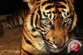 Harimau sumatera terkam buruh bangunan hingga tewas
