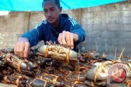 Nibung Crabs valued at Rp5.43 billion per year