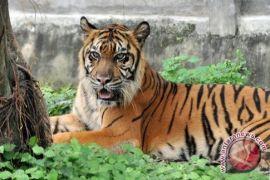 WWF: Sindikat Penjual Harimau Sumatera Dihukum Berat