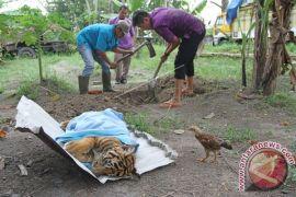 Anak Harimau Sumatera Mati