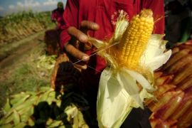 Kalbar berpotensi kembangkan tanaman jagung