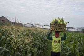 Kalbar Siapkan 32 Ribu Hektare Lahan Jagung