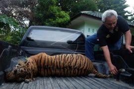 Kasus Perburuan Harimau