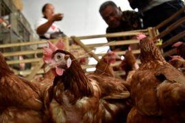 Stok kosong penyebab harga ayam naik