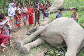 Gajah Sumatera Mati