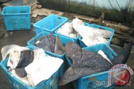Hiu Paus Terjerat Nelayan di Pulau Lemukutan