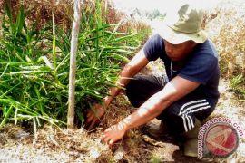 Petani Mempawah Bidik Jahe Untuk Ekspor