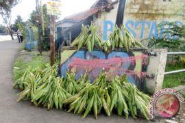 Pedagang jagung bermunculan