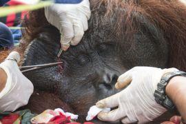 IAR translokasi orangutan jantan dewasa