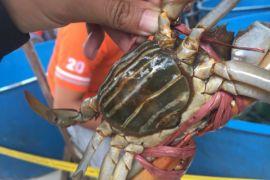 Kepiting nibung Kubu Raya hasilkan miliaran rupiah