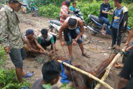 BKSDA Kalbar akan identifikasi orangutan di wajok