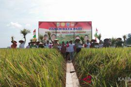 Panen padi petani Tunggal Bhakti Sanggau diatas rata-rata