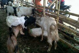 Harga hewan kurban di Kota Pontianak naik