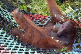 Evakuasi dan Translokasi Orangutan di Ketapang
