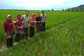 Ini hasil identifikasi lapangan Dinas Pertanian Kalbar terhadap beras Pemangkat