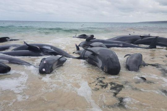 Ratusan paus mati terdampar di Australia