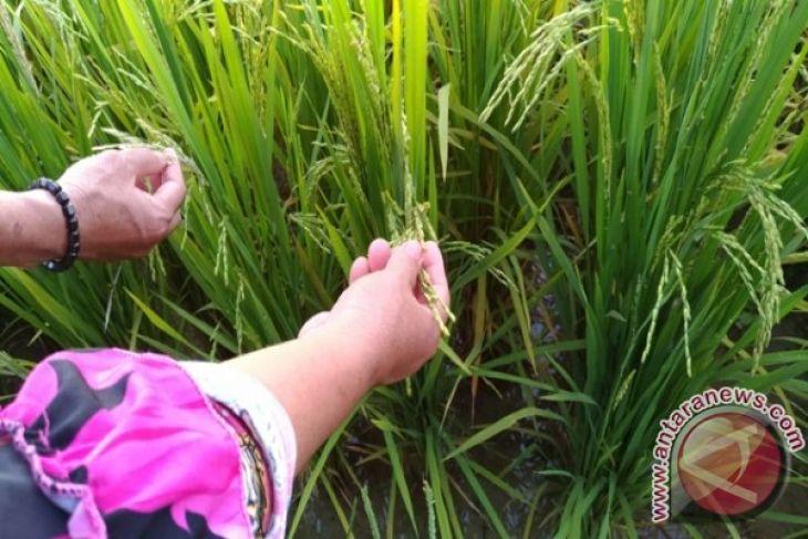 Distan Imbau Petani Singkawang Serentak Tanam Padi
