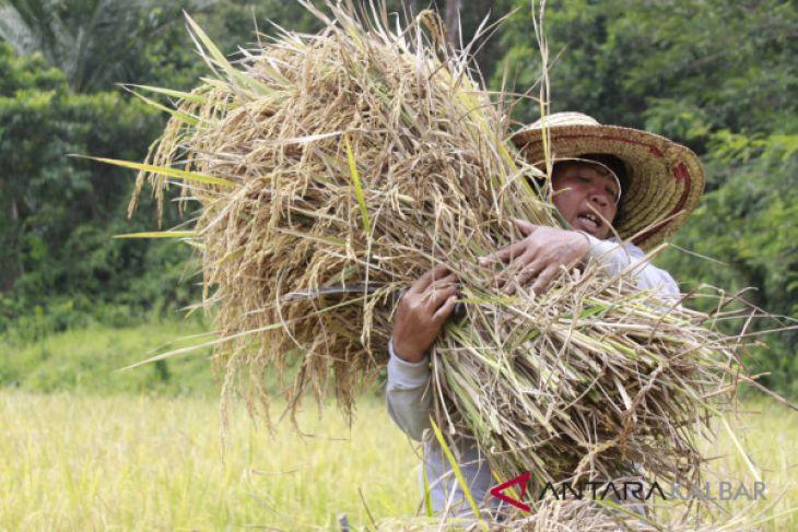 Komandan Kodam Tanjungpura panen padi