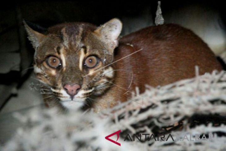 Kucing Emas Asia terancam