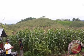 Kotabaru Extends 117 Hectares Corn Crops