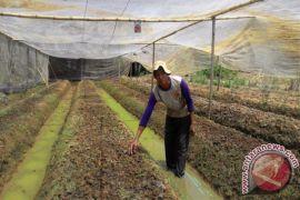 Pengembangan Bawang Tabalong Kurang Memuaskan Akibat Hujan