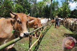 South Kalimantan brings in 3,000 cattle per month