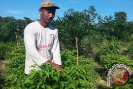Pemkab Banjar bantu petani cabai