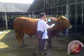 Pendapatan peternak sapi di Tanah Bumbu turun