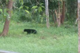 BKSDA Kirim Beruang Madu Ke Taman Safari