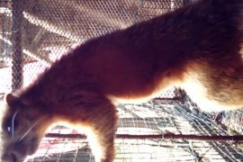 Balangan's Giant Squirrel Begins to Disappear